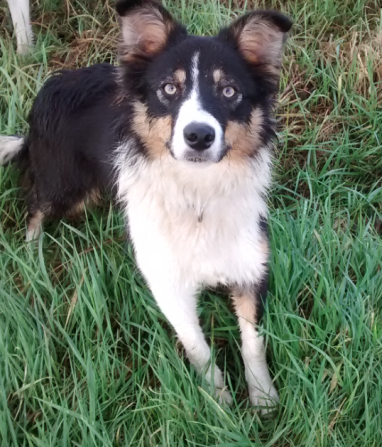 Border collie 'Ginny'